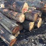 Oversized Red Oak Logs